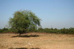 mumbai_tree