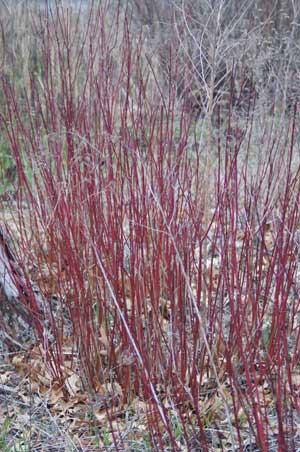 redplant