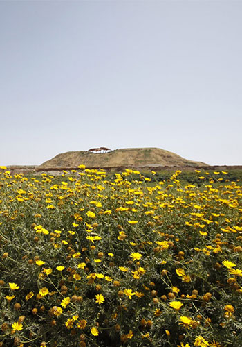 Chrysanthemums grow at the base of Mount Hariya, a former landfill / Latz+Partners
