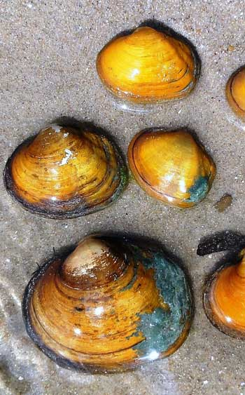 Freshwater Mussels / FWS