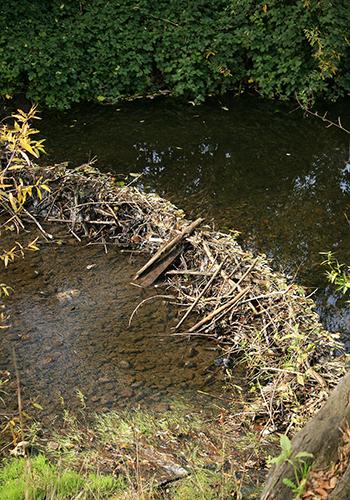 A beaver dam in Sonoma, California / Cheryl Reynolds