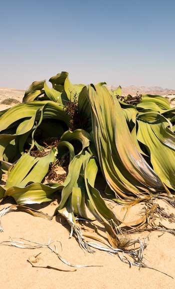Welwitschia mirablis / Brilliant Botany