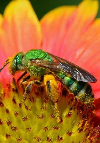Native Sweat Bee / Ben Kolstad