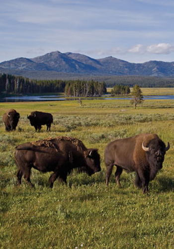 Bison in Yellowstone National Park / Yellowstone National Park
