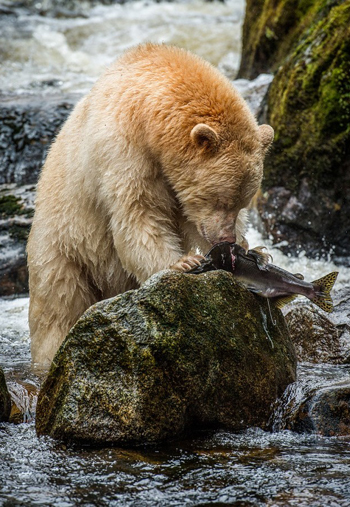 Spirit Bear on Griddell Island, Great Bear Rainforest / Nature Conservancy